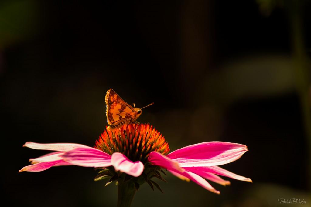 Bright Moth on Cone Flower Parham P Baker Photography