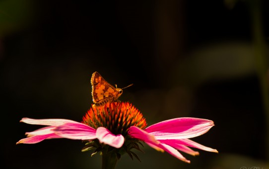 Bright Moth on Cone Flower Parham P Baker Photography