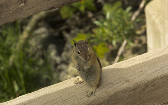 Chipmunk on Fence Rail Colorado Parham P Baker Photography