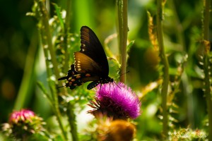 Butterfly on Thistle, Parham P Baker Photography