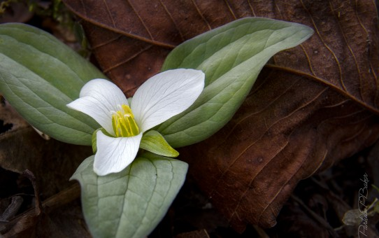 Snow Trillium in Kentucky Spring - Parham P Baker Photography