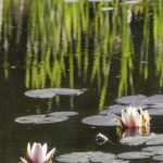 Two Lilies and Reed Reflections Parham P Baker Photography