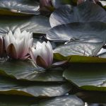 Lilies and Lily Pads Parham P Baker Photography