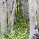 Colorado Aspen and Flowers Parham P Baker Photography