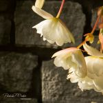 White Flowers in Sun - Parham P Baker Photography