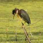 Green Heron Scratching - Parham P Baker Photography