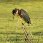 Green Heron Scratching - Parham P Baker Photography