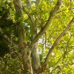 Sycamore Tree - Parham P Baker Photography