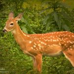 Fawn in Flora - Parham P Baker Photography