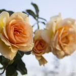 Three Roses - Parham P Baker Photography
