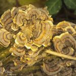 Wood Fungus Among Us - Parham P Baker Photography