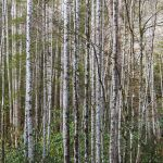 Stately Trees - Parham P Baker Photography