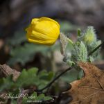 Wood Poppy and Leaf - Parham P Baker Photography