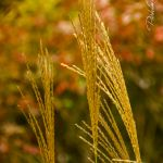 Grasses at Meadowlands in the Gorge - Parham P Baker Photography