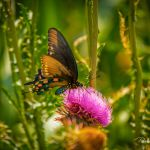 Backlit Butterfly on Thistle - Parham P Baker Photography